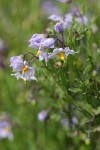 Bluewitch Nightshade blossoms