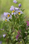 Bluewitch Nightshade blossoms & foliage