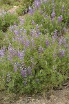 Western Lupine