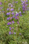 Western Lupine blossoms & foliage