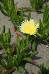 Hottentot Fig blossom & foliage detail