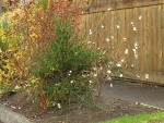 Snowberry, rose hips in parking strip garden w/ wooden fence along sidewalk bkgnd