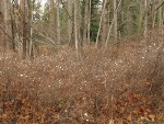 Snowberry thicket under Bigleaf Maples, early winter