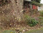 Snowberry in front-yard garden w/ Low Oregon-grape, Kinnickinnick