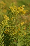Late Goldenrod
