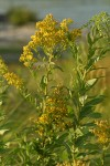 Late Goldenrod blossoms & foliage