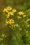 Western Goldenrod blossoms detail