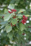 Okanagan Valley Hawthorn fruit & foliage
