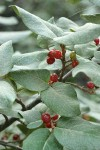 Russet Buffaloberry fruit & foliage
