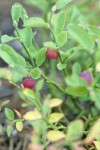 Grouseberry fruit & foliage detail