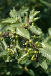 California Buckthorn (Coffeeberry) fruit & foliage