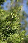 Incense-cedar cones & foliage