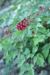 Red Baneberry fruit w/ soft-focus foliage bkgnd