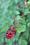 Red Baneberry fruit