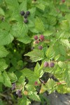 Blackcap Raspberry fruit & foliage