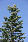 Shasta Red Fir crown w/ cones