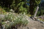 Pearly Everlasting w/ Silesia Creek trail sign