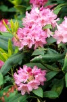 Pacific Rhododendron blossoms & foliage detail