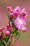 Western Bog Laurel blossoms sparkle w/ raindrops