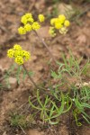Hamblen's Desert-parsley