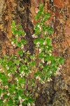 Wax currant blossoms & foliage against Ponderosa Pine trunk
