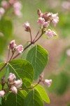 Spreading Dogbane blossoms & foliage detail