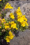 Mountain Monkeyflowers