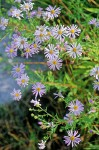 Aster occidentalis