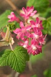 Red-flowering Currant blossoms & foliage detail