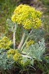 Large-fruited Biscuitroot (yellow form)