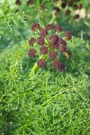 Chocolate-tips (Fern-leaved Lomatium) blossoms & foliage