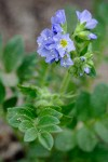 Showy Jacob's Ladder blossoms & foliage