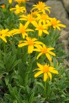 Stemless Goldenweed blossoms & foliage