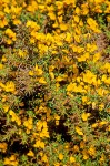 Gorse blossoms & foliage detail